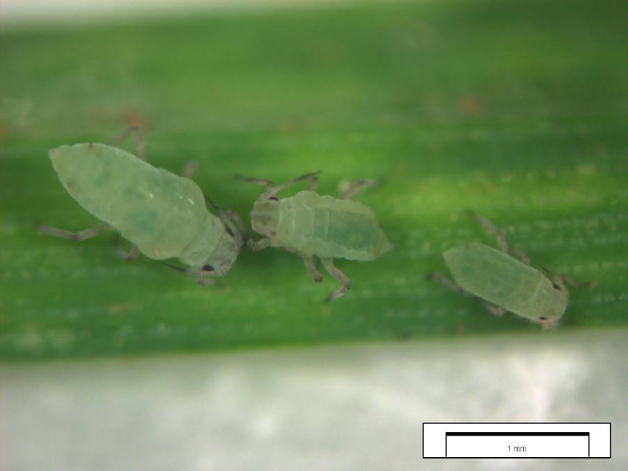 Russian wheat aphid has been detected north of the Great Eastern Highway for the first time since it was first detected in WA in August 2020.